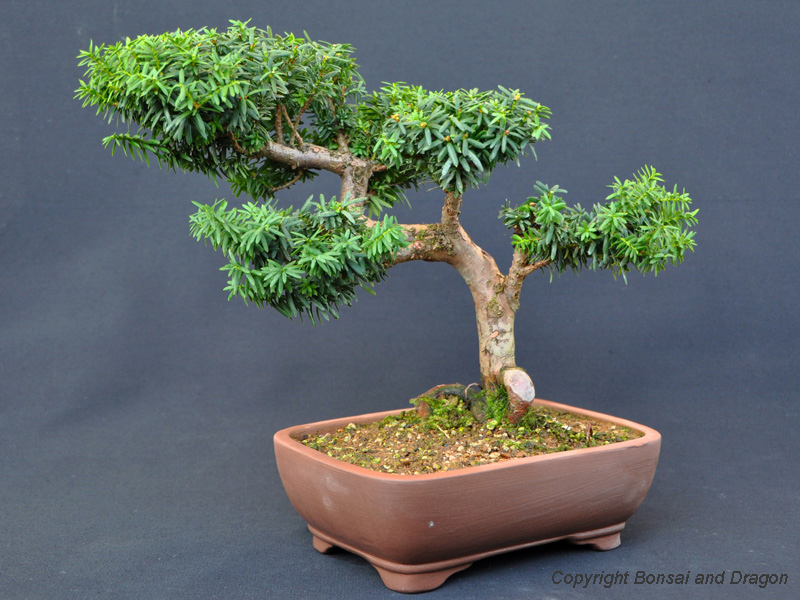 Bonsai outdoor kaufen